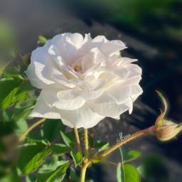 flowershoutout nature photography whiterose rose freetoedit