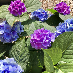 flowers purple purpleflowers nature mothernature outside petals leaves pcmothernature