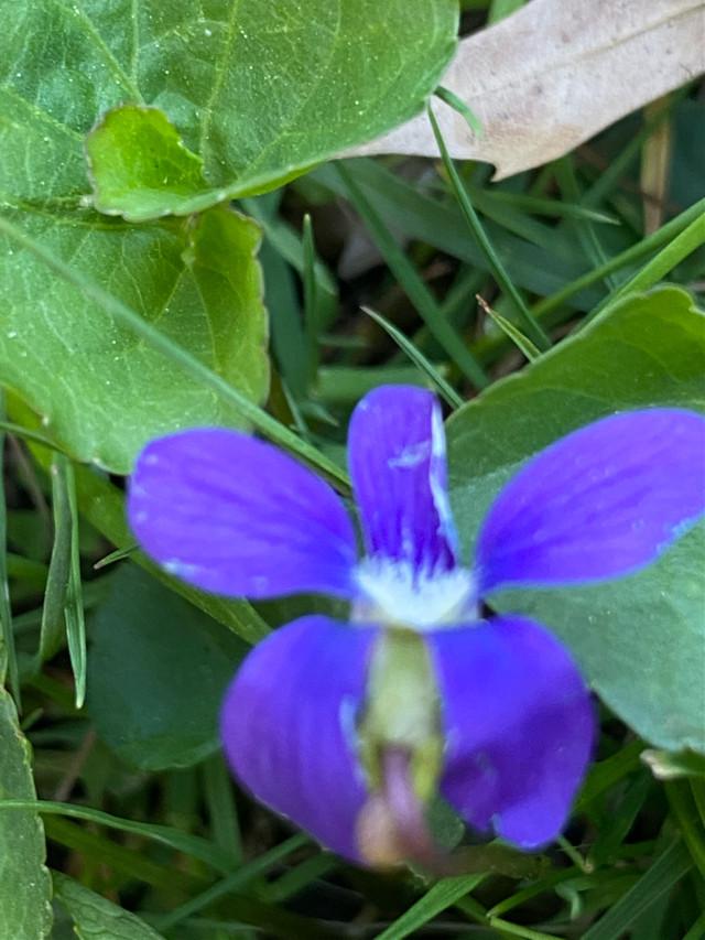 #flower #purple #nature #pcmothernature #mothernature  https://picsart.com/i/357488612007201?challenge_id=607d56da1a9d600072a05f5d