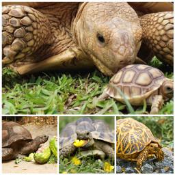 tortoises tortoise turtle turtles tortoisepics