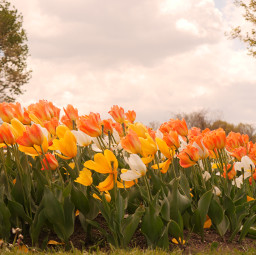 tulip flowers colorful colorido flores freetoedit