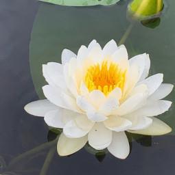 freetoedit flower lotus lilypad lake water whiteflower waterlily yellowcenter yellowflower naturephotography pcmothernature mothernature