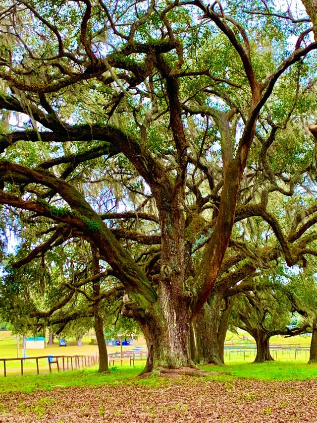 #tree #angeloaktree #vivid #green #leaves #nature #naturephotgraphy #beautifultree #oldtree #natureisbeautiful