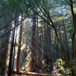freetoedit sunrays redwoods california oldtrees forest nature naturephotography beautifultrees fallentree sunlight mothernaturechallenge pcmothernature mothernature