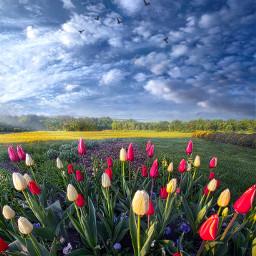 freetoedit remixit nature landscapephotography beauty pretty follow fanart peace happytaeminday popular popularpage tulips spring flowers