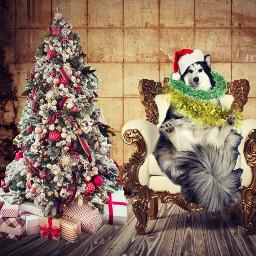 helgahusky siberianhuskies cristmasparty xmas happynewyear