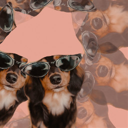 dog staycool staychilled stayfunny sunglasses funnydog pinkbackground rcmultiplyyourself multiplyyourself freetoedit