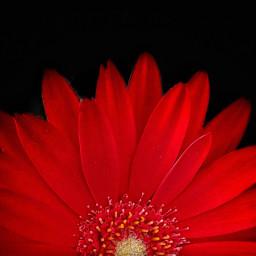 gerberadaisy flower daisy red nature colorsplash