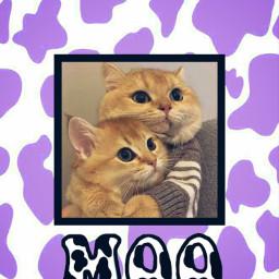 cats wallpaper moo cow cowprintaesthetic purple purplecowprint hug aesthetic aestheticwallpaper aestheticbackground cute besties bestfriends freetoedit