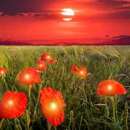 poppy poppyfield flowers flower stayinspired vibes colors psychedelic beautiful heypicsart landscape field sunset red unsplash flores background