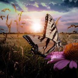 butterfly sundown flower schmetterling sonnenuntergang blume freetoedit