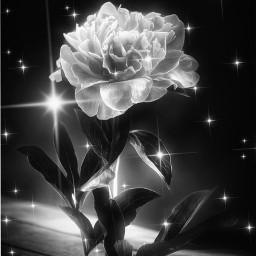 aesthetic flower blackandwhite freetoedit