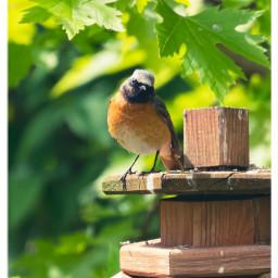 redstart bird birdlovers naturephotography freetoedit