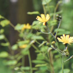 nature wildflowers freetoedit