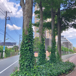ivy tree nature street tokyo japan hdr