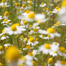 camomilla fiori sole sun sunrise sunny sunnydays margherite flowerpower nature naturephotography naturelover magic naturelovers yellow picsart phonephotography pcsunnyweather sunnyweather