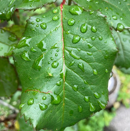 leaves simple flower raindrops roseleaves rose garden photography orient_photos