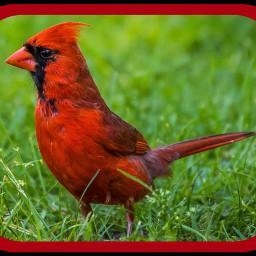 photo bird cardinal freetoedit