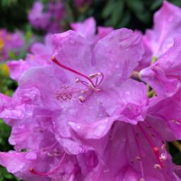 flower flowerphotography purpelflower lila