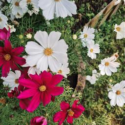 flowers flowerpower colorfulsummer colorful naturephotography beautiful pink pinkandwhite summertime goodvibes gardening favorites happyplace