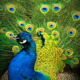 peacock bird zoo moscowzoo tail feather colors colorful bright closeup beautiful photo photography canon canon700d photoshop photoshopcs5 freetoedit
