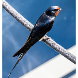 swallow bird meckpomm greifswald nature travellinggermany freetoedit