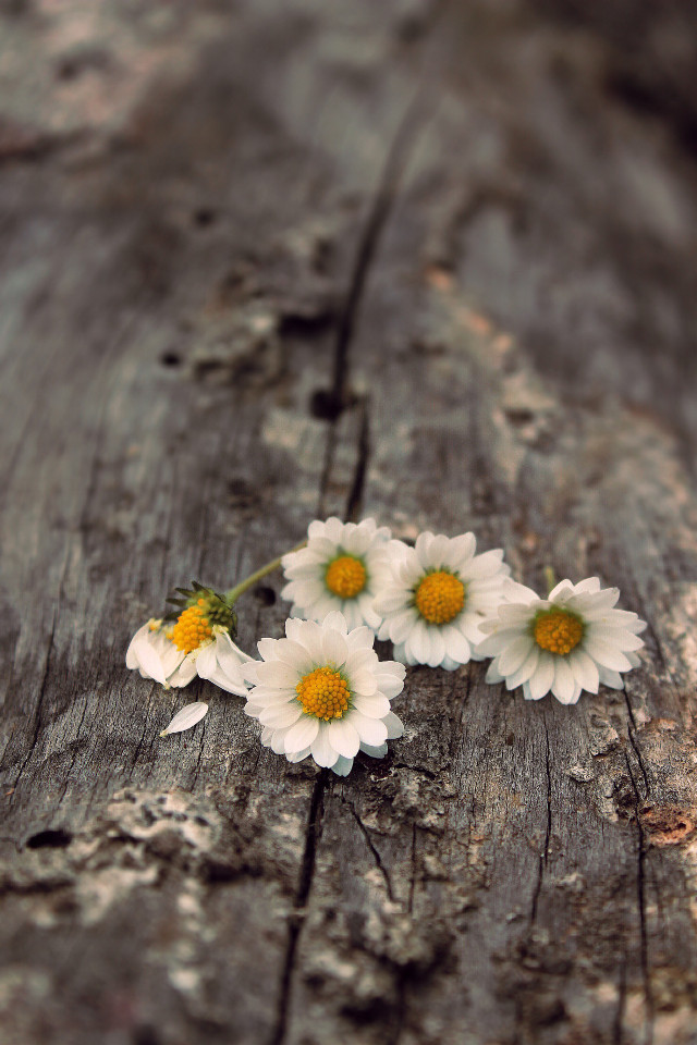 This one's dedicated to Joann @jo_mar_engeltem,  a very dear friend to all of us and a great @picsart artist as in photography and editing images brilliantly!                          •                                                                                                                           https://youtu.be/GdU6snztM0A   🤍🤍🤍                                               •                                                                                                                        Daisies on an old tree trunk #flowers #naturesbeauty #wildflowers #daises #oldtreetrunk #stilllife #simple #simplicity #simplethingsinnature #flatlaystyle #pcmyfavoriteshot #enjoyingnaturesbeautyadayatatime #appreciatenaturearoundyou #enjoythesimplethingsinlife #lowangleshot #foregroundblur #depthoffield #stilllifephotography