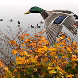 remixed pond ducks freetoedit