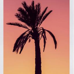 summertime 2021 palmtree sunset pink orangesky polariod purple ircthesunsetpalm thesunsetpalm freetoedit