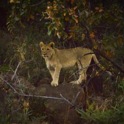 lion cub animalslove