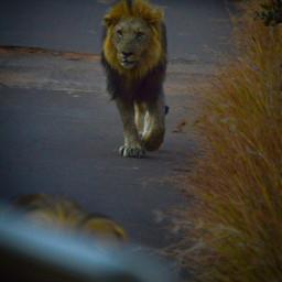 lion animallover naruto