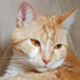 mycat gingercat pcpetsofpicsart2021 petsofpicsart2021