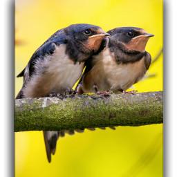 barnswallow swallows schwalben rauchschwalbe birds birdphotography birdwatching naturelover nature naturephotography lowersaxony canon7dmarkii canonphotography