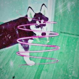 siberianhusky puppy doggo freetoedit