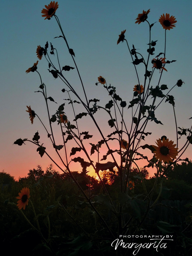 T E X A S   S U N S E T  #sunset #flowers #sunflowers #nature #Texas #photographybymargarita #brillaperla