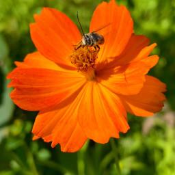 freetoedit wildflower bee closeup summer flower orangeflower flowerphotography nature
