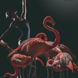freetoedit pinkflamingo ballerina eccuteflamingos cuteflamingos