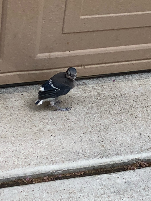(1/2) I found a baby bluejay fluttering around. I helped it get back to the tree its mom was in. She kept swooping on me; she was not happy. But it was fine. It just wanted to try to fly. #burb