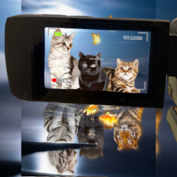 cats tigers amazingcapture freetoedit rccameramemories cameramemories