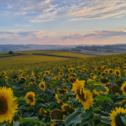 sunflowers landscapes nature photography colourful summer