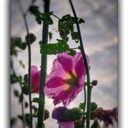 flowerphotography nature flowers beautifull stockrose schönheit garten