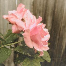 bringbackremixchat saveremixchat stopforcingkidstoremix rose pinkrose roses pinkroses romantic romance vintage oldfashioned flowers vintageflowers vintageasthetic vintageroses pink pinkflowers victorian
