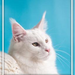 freetoedit cat srcpicsartframe picsartframe