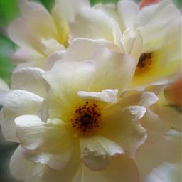 rose flowers freetoedit