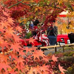 autumn kyoto japan mapleleaves nature pcautumninmycity autumninmycity