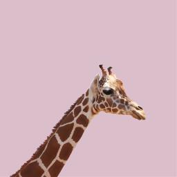 freetoedit giraffe pink sticker cutout