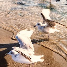 see seaguls freetoedit