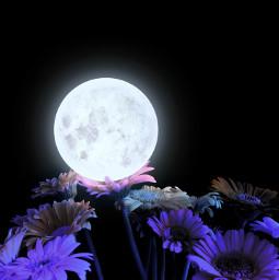 freetoedit flowers daisies nighttime moon moonlight pinkflowers