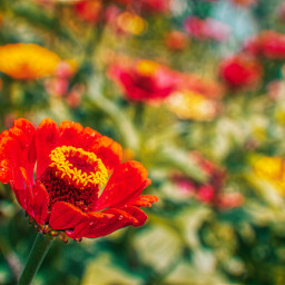 freetoedit photography nature landscape flowers colorful red local