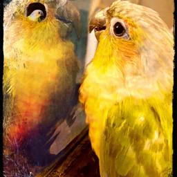 bird parrot conure replay freetoedit photography photo edit interesting spooky darkside mirroreffect mirror unique creative birds freelancephotography